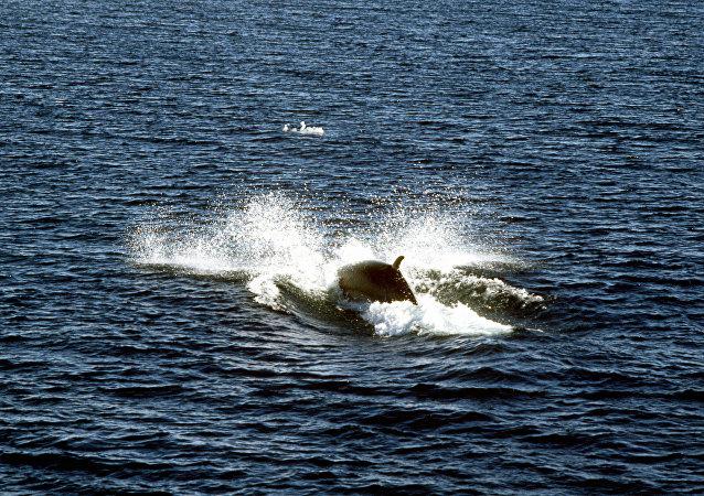 距东京不远岛屿附近一快速船与鲸鱼相撞