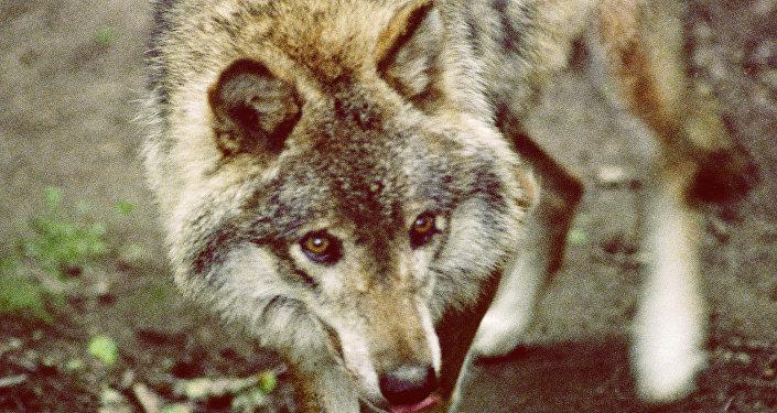 东方航天发射场工作人员称发射场周边有狼出没
