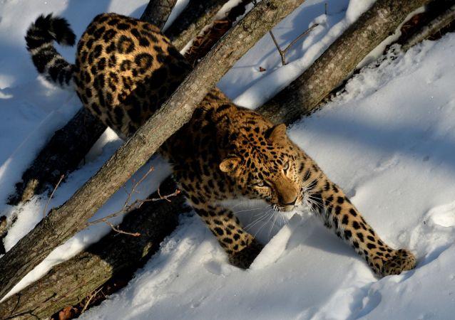 韩电视台在滨海边疆区国家公园内拍摄有关远东豹的影片
