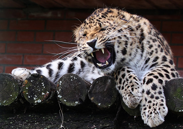 世界最大远东豹保护中心在滨海边疆区成立
