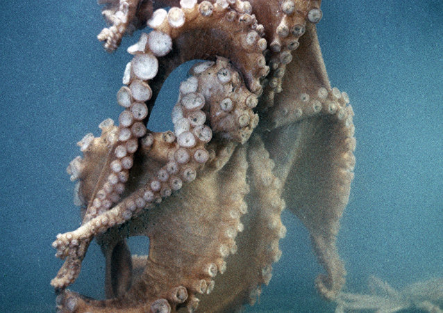 一次都未失误的预言章鱼被吃