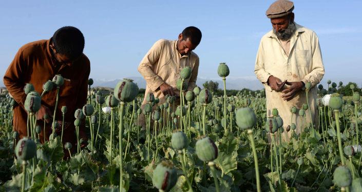 阿富汗的罂粟