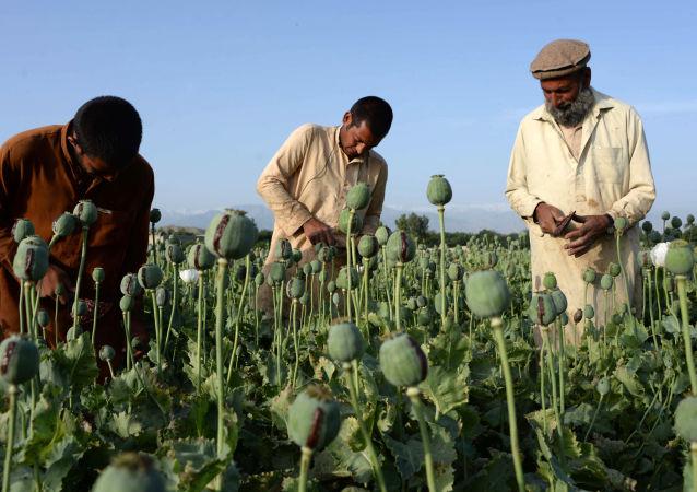 阿富汗的罌粟