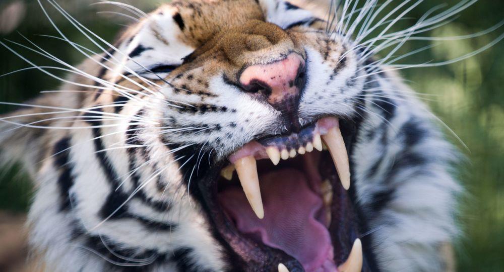 捷克制止了為制藥而大量殺死老虎的行為
