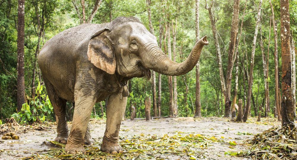一头迈克尔·杰克逊的大象从佛罗里达州的动物园逃走