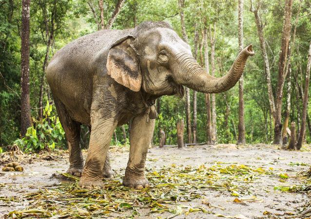 主人徉装打架母象跑来帮忙