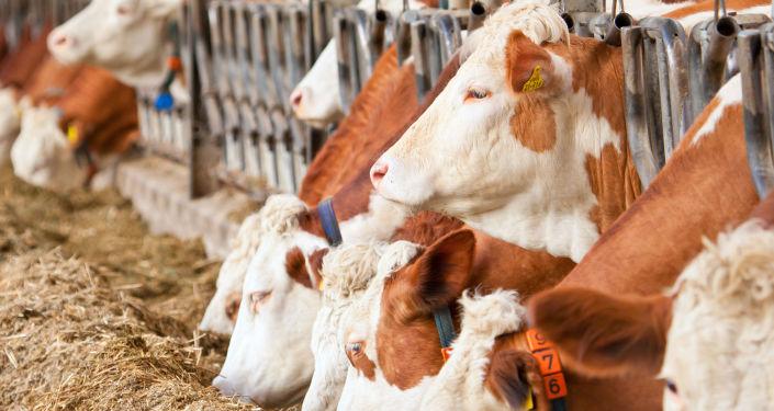俄中合资农业控股公司2021年前将在西伯利亚建3个养牛场