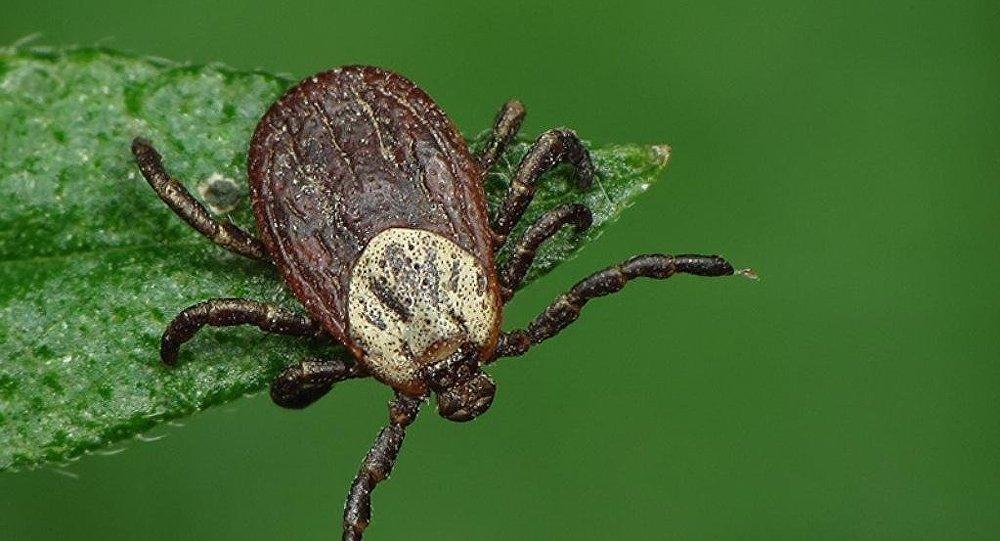 俄罗斯约22万公民被蜱叮咬后就诊