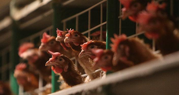 研究報告:亞洲大量用抗生素生產雞肉威脅全球安全