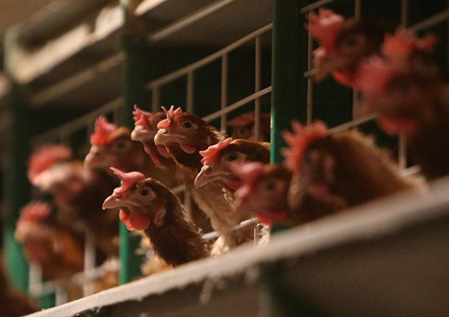 中国国台办:大陆方面没有从台湾输入活禽贸易