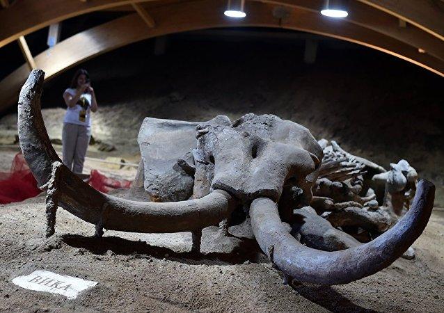 莫斯科近郊发现藏有宝藏的猛犸象头骨