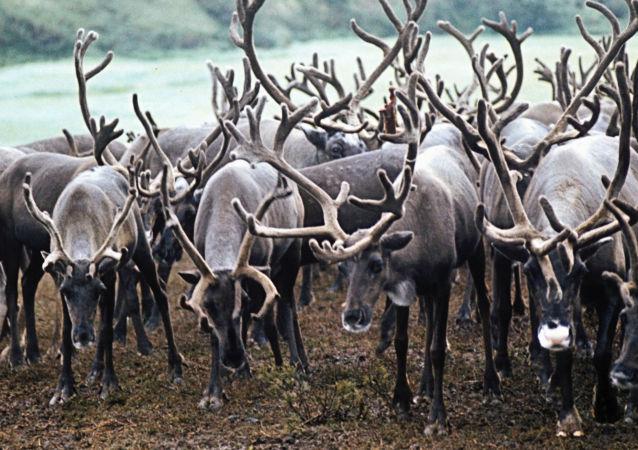 俄亞馬爾半島已有約5.8萬頭馴鹿接種炭疽疫苗