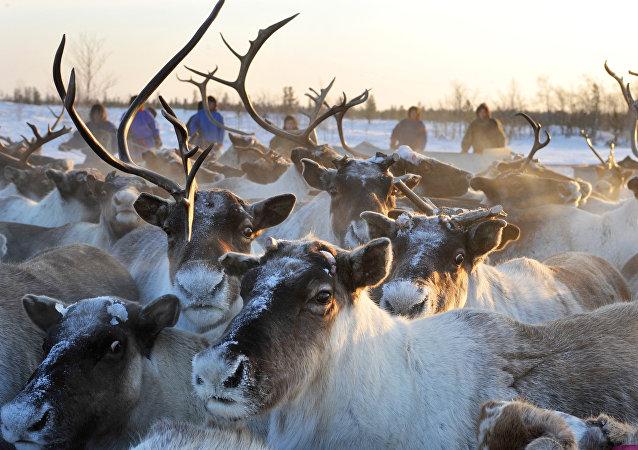俄亚马尔约1.6万头驯鹿和家畜因炭疽疫情接种疫苗