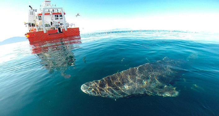 格陵兰小头睡鲨