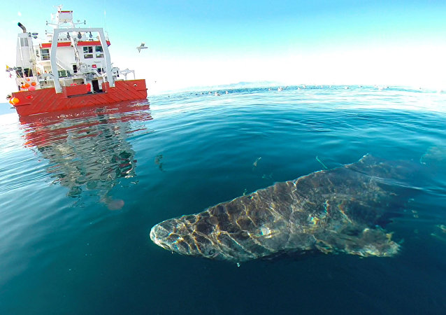 格陵蘭小頭睡鯊