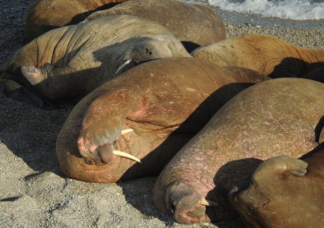 4000頭海象來到楚科奇北部科柳欽島沿岸