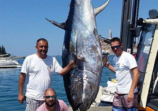 克羅地亞捕到一條340千克的金槍魚