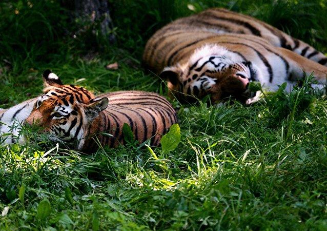 俄中及其他国家学者将在俄哈巴罗夫斯克讨论保护老虎种群问题