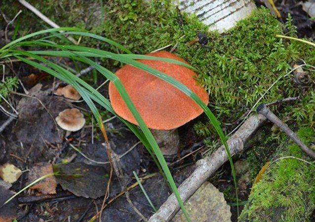 蘑菇(資料圖片)