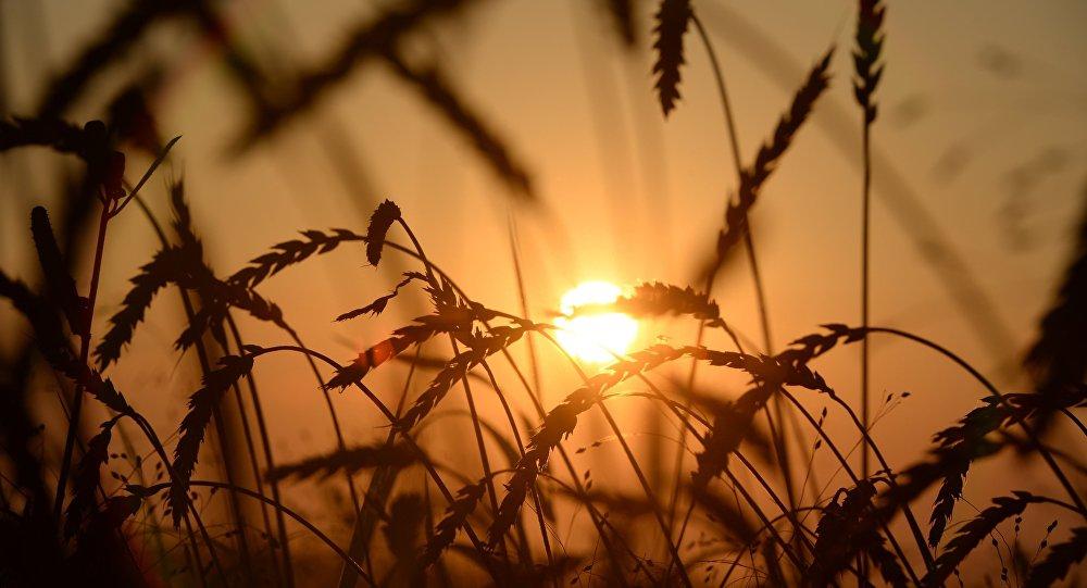 俄農業部副部長:俄將繼續保持出口小麥的國際領先地位