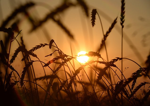俄农业部副部长:俄将继续保持出口小麦的国际领先地位