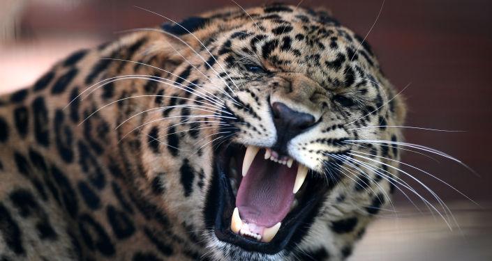 俄科學家2017年在濱海邊疆區發現100多頭遠東豹