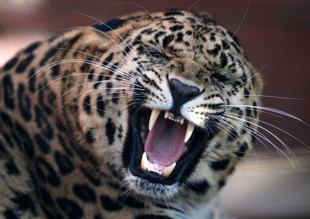 豹子(资料图片)