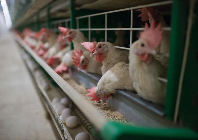 中国专家今年底或明年初将再次访问俄禽肉加工企业