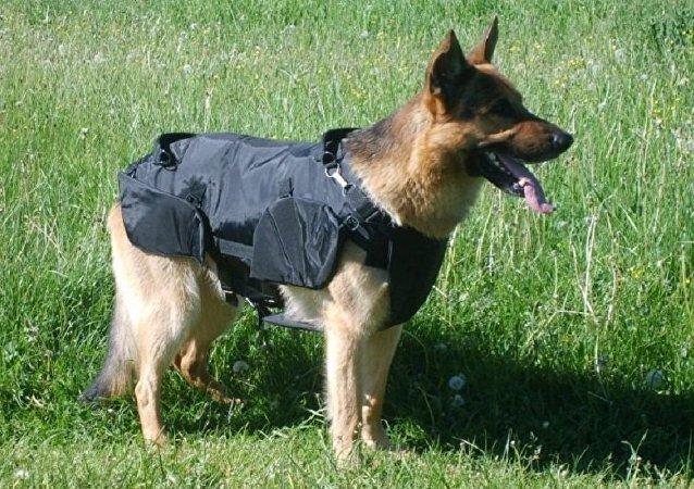 由韩国最佳警犬克隆的犬将转交给雅库特训犬员服役