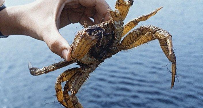 俄远东海关截获价值54万美元运往中国的走私活蟹