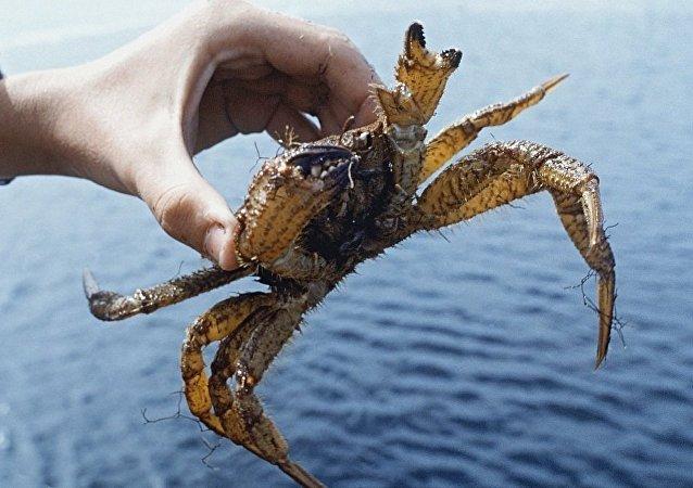 俄遠東海關截獲價值54萬美元運往中國的走私活蟹