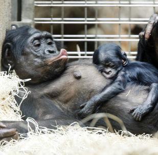 """黑猩猩的""""床""""比人的要干净"""