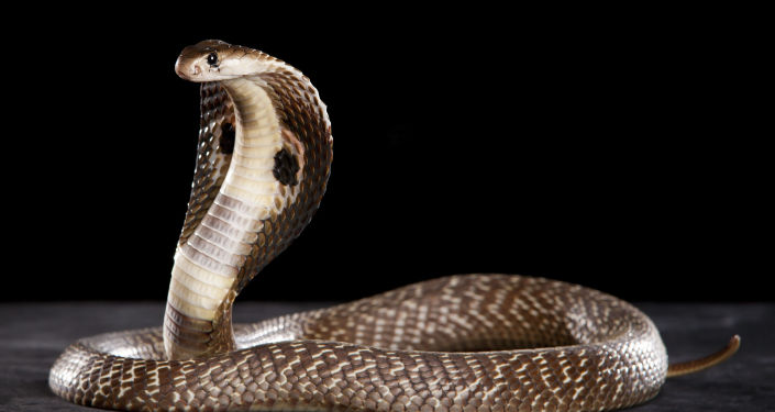 印度,眼鏡蛇