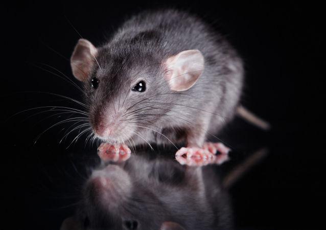 一英國人被自家寵物鼠咬傷後死亡