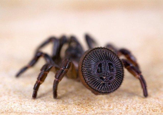 中国村民抓到一只类似古代印章的罕见蜘蛛