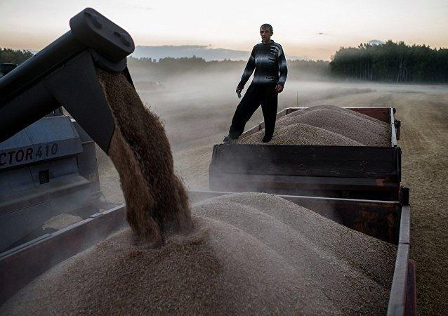 美国称俄扩大小麦出口对美造成威胁