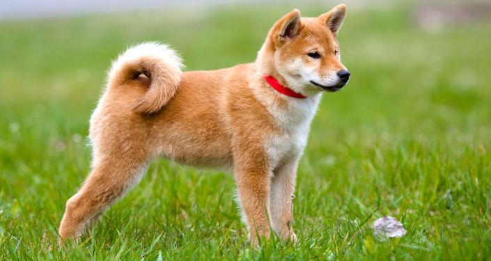 日本秋保会提出向奥运花滑冠军扎娃赠送秋田犬