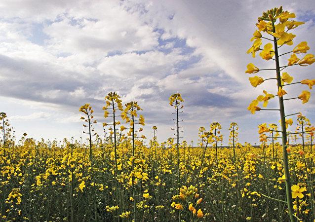 俄伊爾庫茨克州增加油菜作物播種面積以實現對華出口