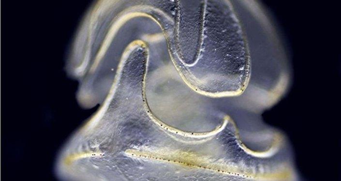 一种只有头部没有身体的海洋蠕虫被发现