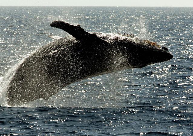 一头座头鲸因被渔网缠绕而死于俄勘察加半岛北部