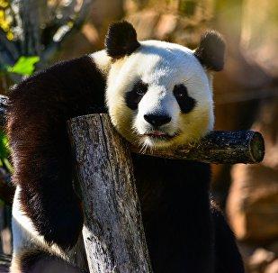 針對想要觸摸熊貓的人熊貓保護中心決定修築更高的圍欄