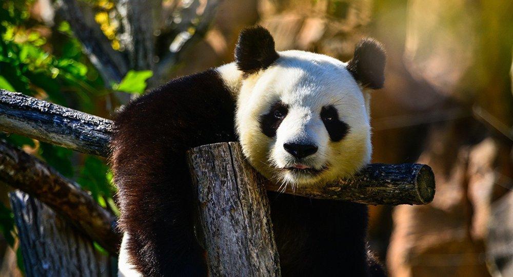 针对想要触摸熊猫的人熊猫保护中心决定修筑更高的围栏