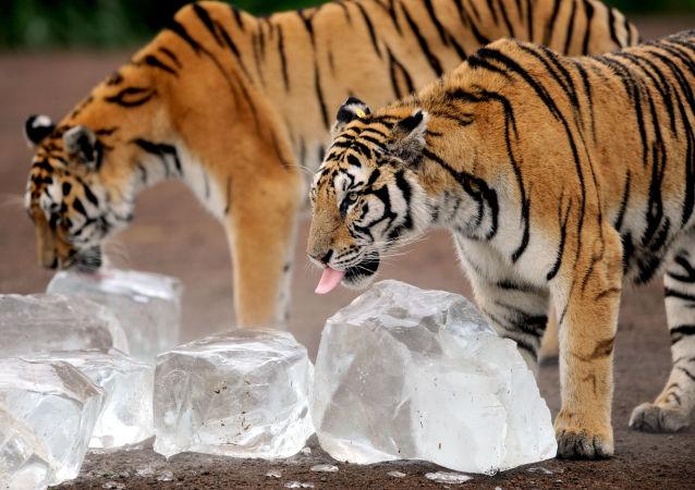 寧波一動物園老虎咬死人
