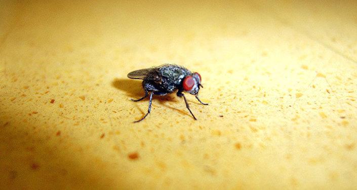 中國蒼蠅是超級細菌攜帶者
