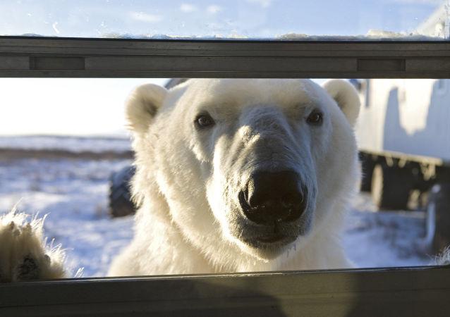 一头白熊爬进斯匹次卑尔根岛的一家旅馆并被困