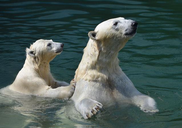 海冰减少 北极熊开始捕食老鼠