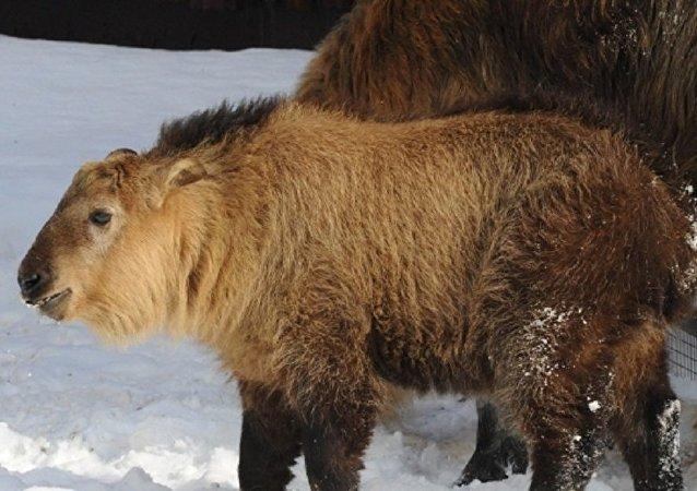四川羚牛牛犊