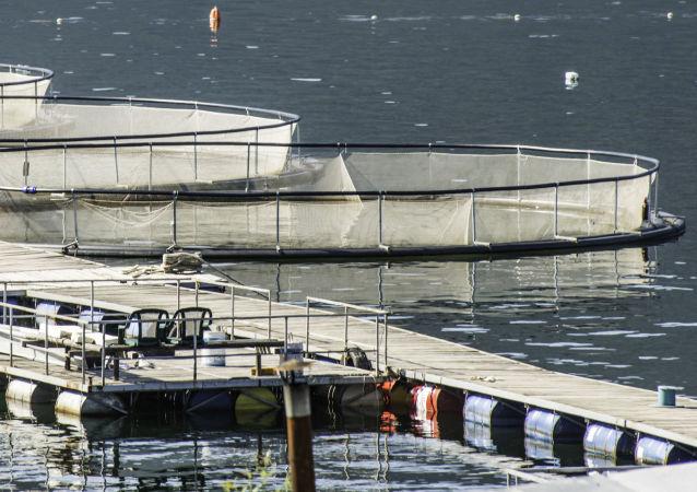 媒體:2017年俄境內將開闢9萬公頃漁場用於水產養殖