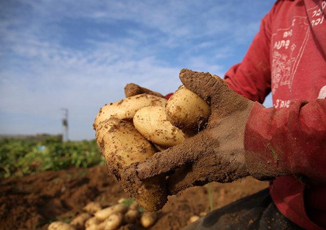 埃及將從6月6日起恢復對俄羅斯供應馬鈴薯