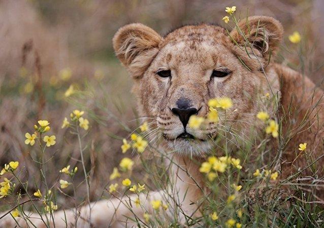 俄萨拉托夫发生狮子袭击中学生事件